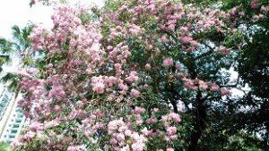 マレー桜3